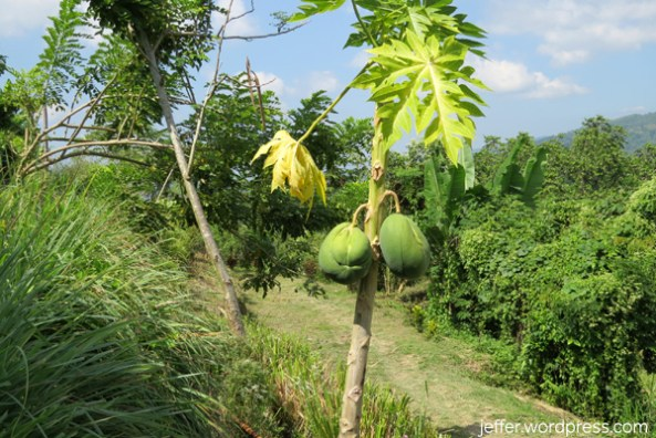 Papaya is only one of the many fruits found in Sablan.