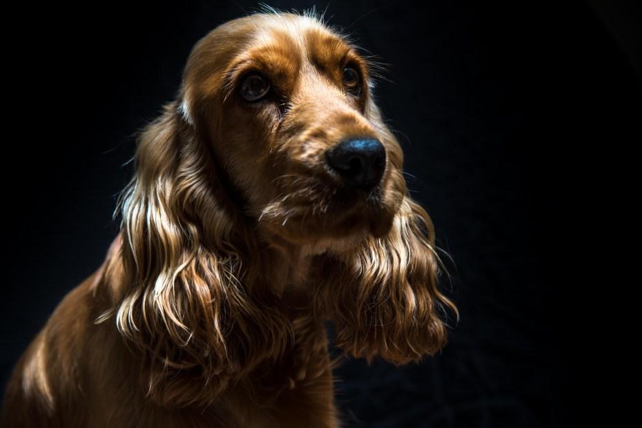 Photographie Canine en Low Key Photographe à Cannes Photographe à Mouans-Sartoux Photographe à Antibes Photographe à Mougins Photographe à Le Cannet Photographe à Mandelieu-La-Napoule Photographe à Grasse
