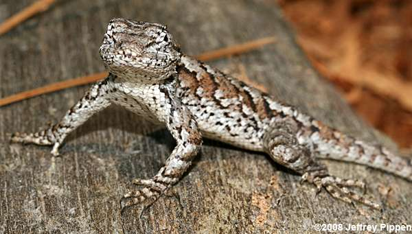 Image result for eastern fence lizard