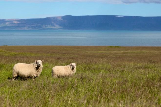 Sheep in Reykir