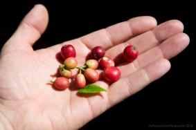 coffee-beans_5000548126_o