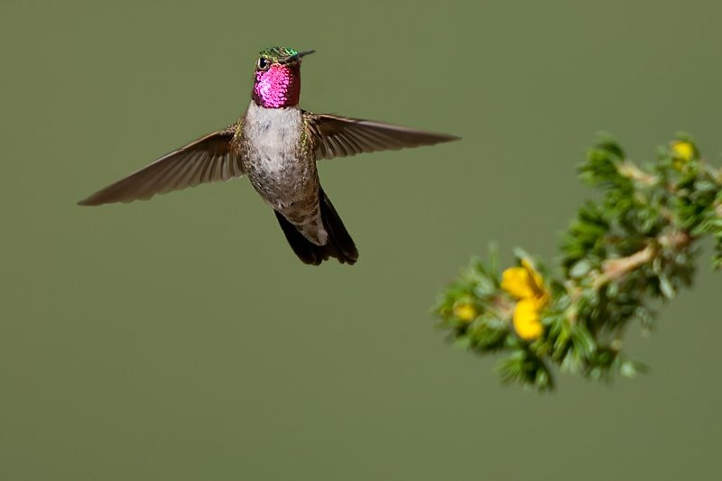 Broad-tailed Hummingbird, Selasphorus platycercus in flight with cinque foil - Jeff Wendorff Photographer