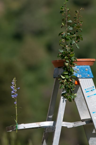 Flowers attached to a ladder as new perches for hummingbirds photographed by Jeff Wendorff