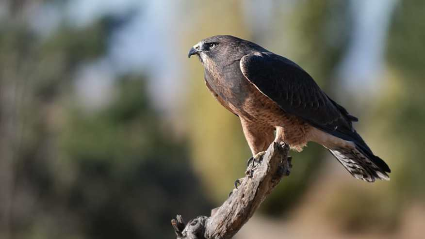 Swainson's Hawk, Buteo swainsoni photographed by Jeff Wendorff