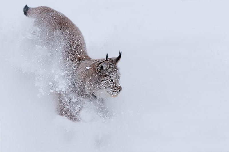 Lynx running in snowy powder photographed by Jeff Wendorff