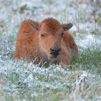 Bison Photography from Yellowstone National Park
