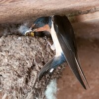 Barn Swallow Photography from Vermont
