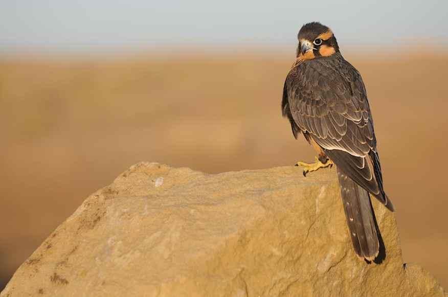 Aplomado Falcon, Falco femoralis photographed by Jeff Wendorff