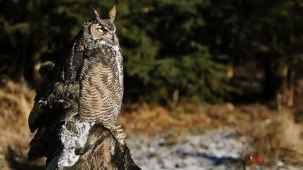 Great Horned Owl, Bubo virginianus. Also Hoot Owls, Cat Owls, Winged Tiger or Tiger Owl.