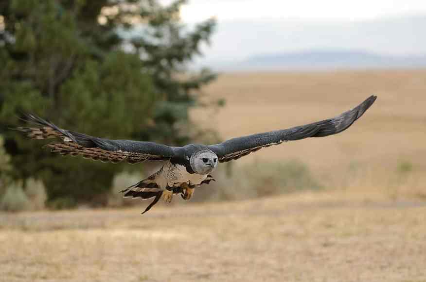 Harpy Eagle, Harpia harpyja in flight photographed by Jeff Wendorff