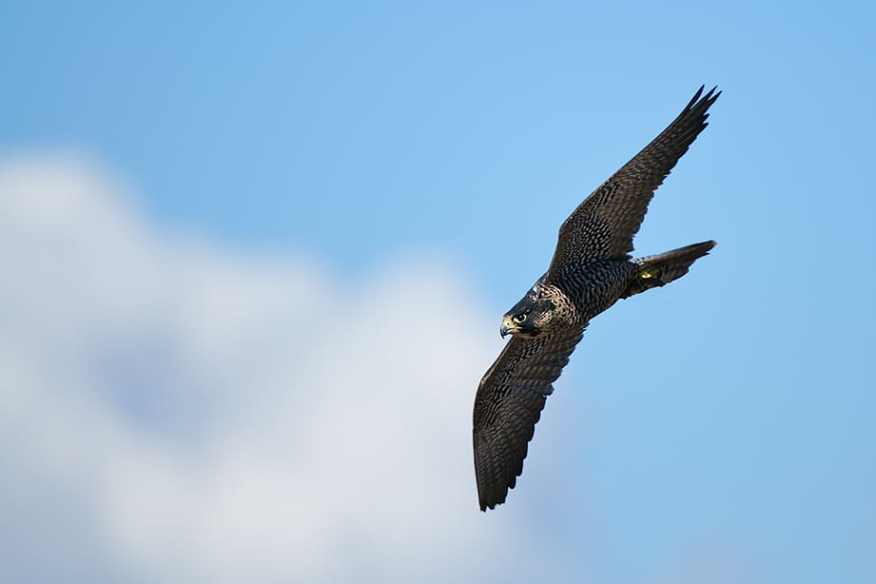 Stooping Peregrine Falcon, Falco peregrinus photographed by Jeff Wendorff
