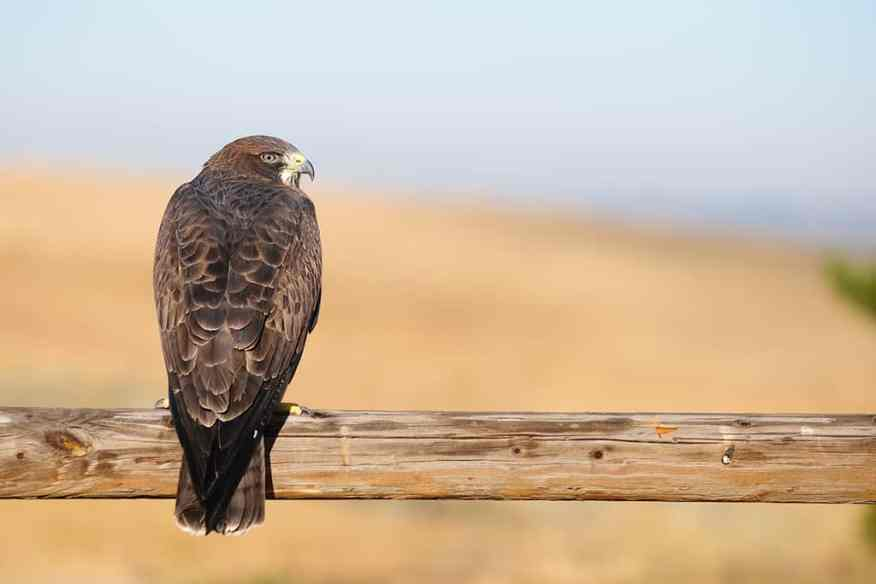 Swainson's Hawk on a rail fence in Idaho photographed by Jeff Wendorff, Buteo swainsoni