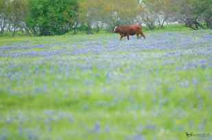 Blue Bonnets and Cow in Texas