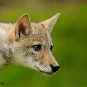 Coyote, Canis latrans. Also Prairie Wolf