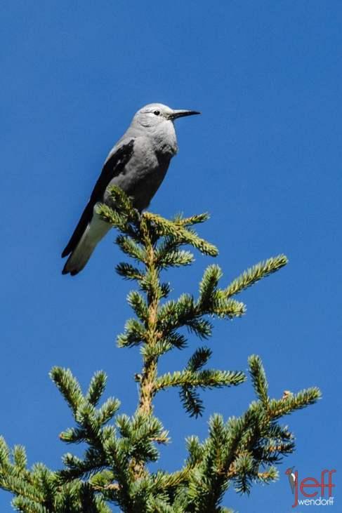 New Bird Species for Me - Clark's Nutcracker