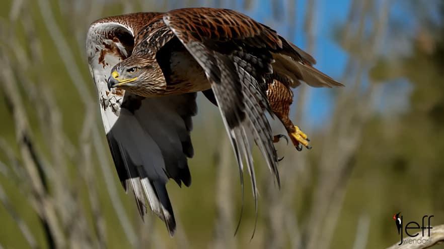 Great Birds in Flight Photography – Raptors!