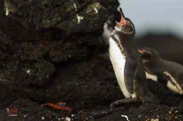 Galapagos Penguin photographed by Jeff Wendorff