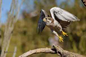 Prairie Falcon in Flight photographed by Jeff Wendorff