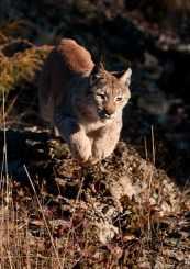 Eurasian Lynx, Lynx lynx. Also Siberian Lynx