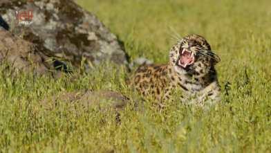 Amur Leopard during Wildlife Photography Workshop by Jeff Wendorff