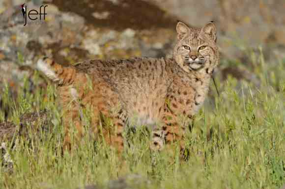 Bobcat from California Wildlife Photography Workshop photographed by Jeff Wendorff
