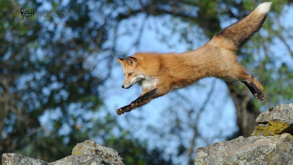 Wildlife Photography Workshop – Fox Images