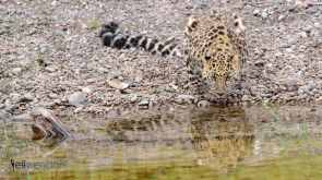 Baby Wildlife Photography Workshop - Adult Amur Leopard photographed by Jeff Wendorff