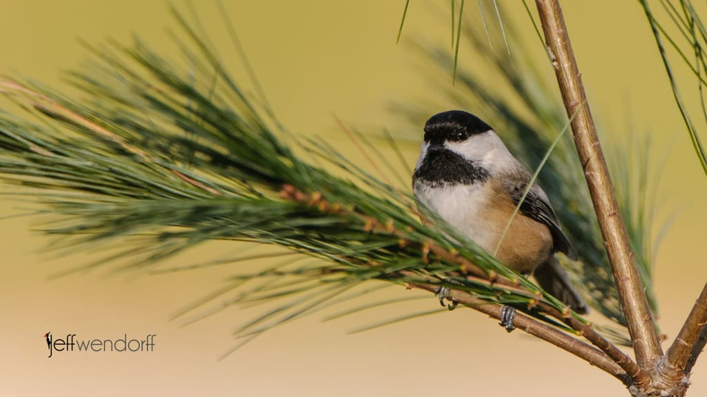 Bird Photography Titmice and Chickadees – Paridae