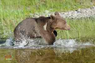 Baby Wildlife Photography Workshop - Juvenile Grizzly Bear photographed by Jeff Wendorff