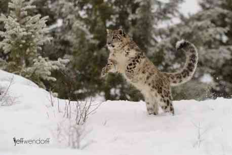 Winter Wildlife Photography Workshop Snow Leopard photographed by Jeff Wendorff