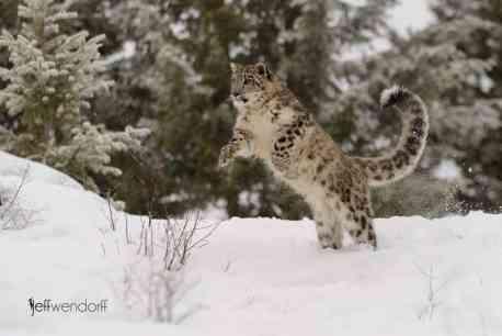 Winter Wildlife Photography Workshop Snow Leopard photographed by Jeff Wendorff