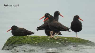 Black Oystercatcher, Haematopus bachmani photographed by Jeff Wendorff