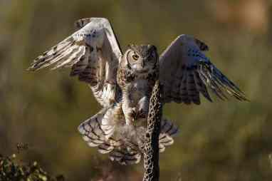 Bird Photography: Great Horned Owl, Bubo virginianus by Jeff Wendorff