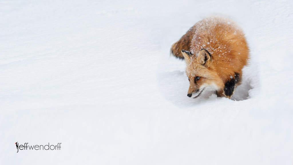 Wildlife Photography – Red Fox