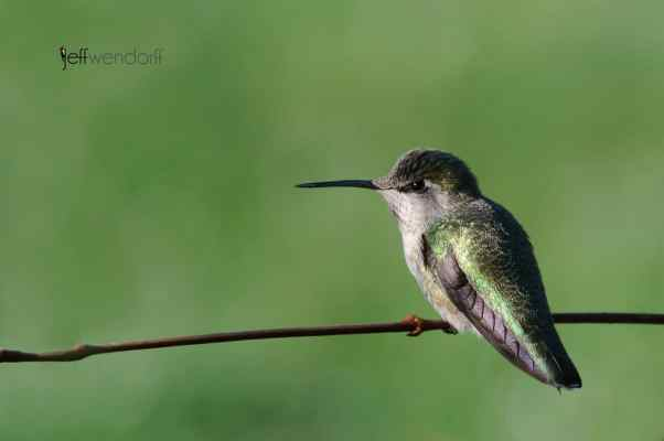 Bird Photography Anna's Hummingbird, Calypte anna photographed by Jeff Wendorff