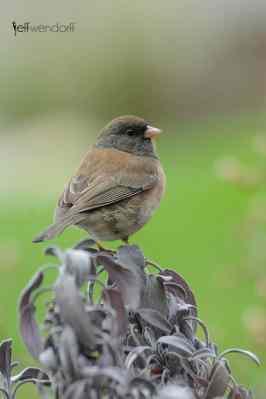 Bird Photography Dark-eyed Junco, Junco hyemalis oreganus and Purple Sage photographed by Jeff Wendorff