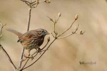 Bird Photography Fox Sparrow, Passerelia iliaca photographed by Jeff Wendorff
