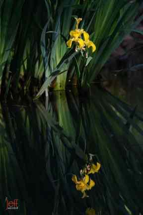 Yellow Flag Iris, Iris pseudacorus photographed by Jeff Wendorff