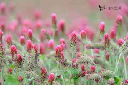 Crimson Clover, Trifolium incarnatum photographed by Jeff Wendorff