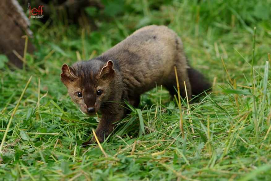 American or Pine Marten walking