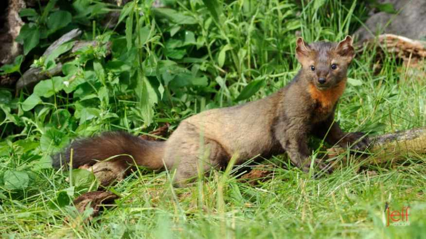 American or Pine Marten full body photo taken by Jeff Wendorff