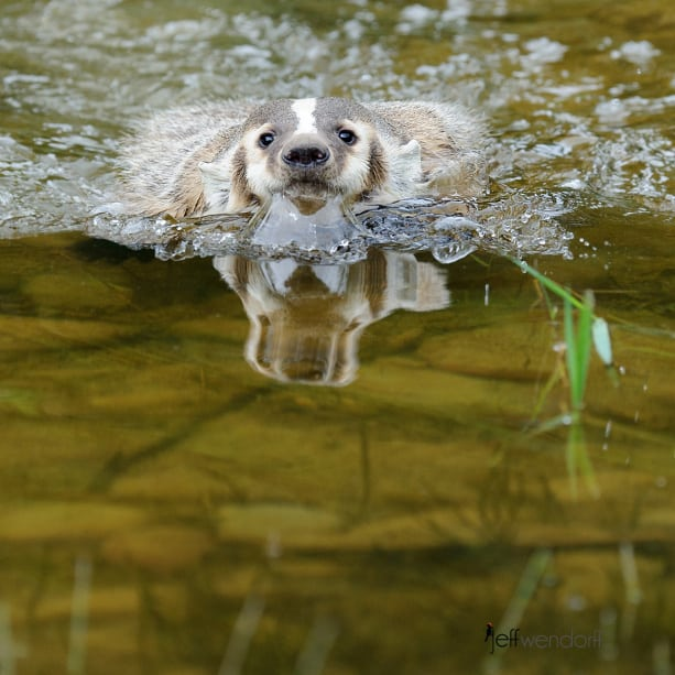 American Badger swimming across a stream photographed by Jeff Wendorff