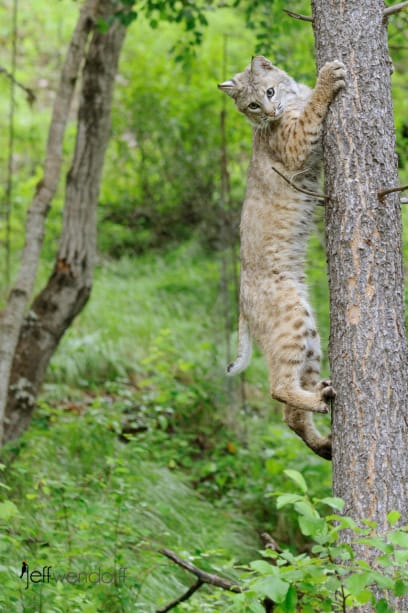 Young Bobcat climbing a tree photographed by Jeff Wendorff