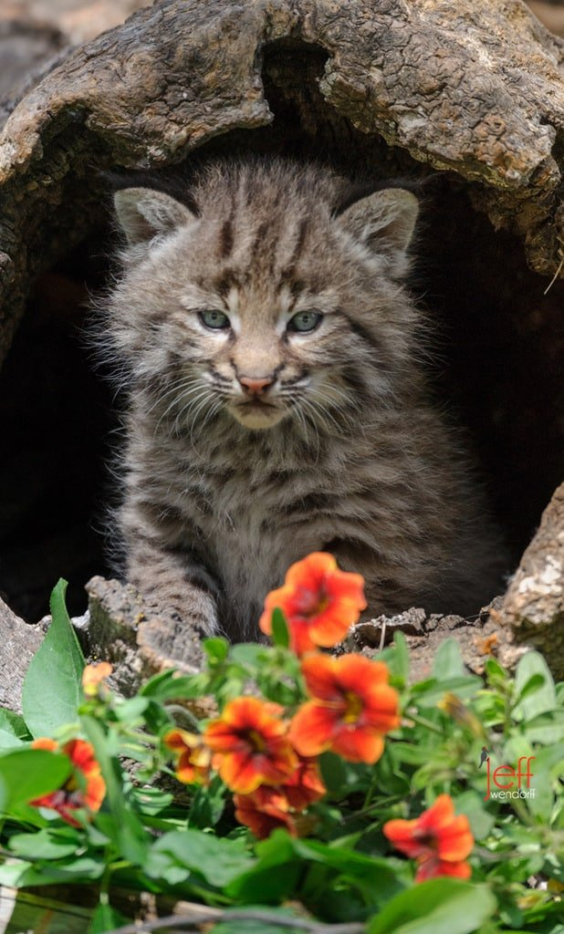 Bobcat Photos