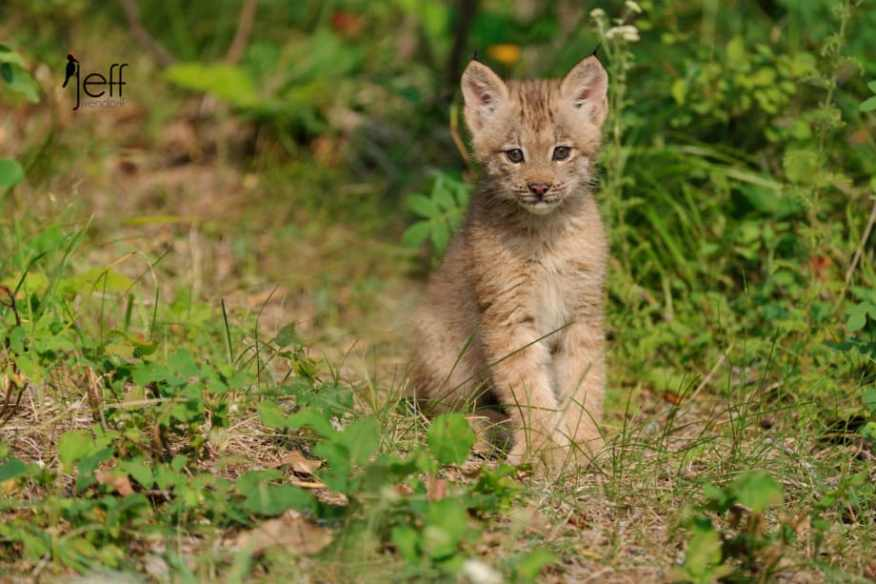 Canada Lynx Kitten sitting on a trail in the forest photographed by Jeff Wendorff
