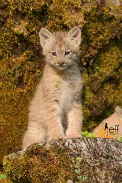 Canada Lynx Kitten Photos