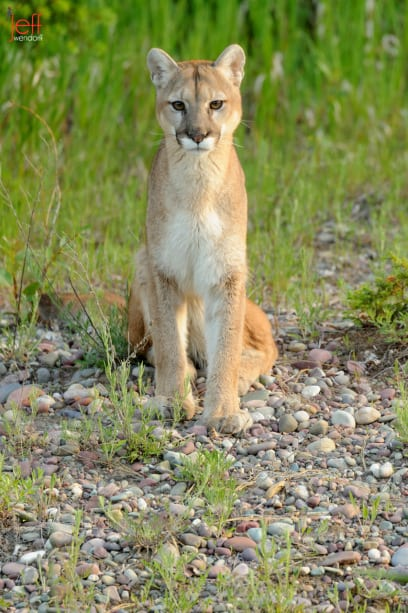 Adult cougar staring at the photographers photographed by Jeff Wendorff