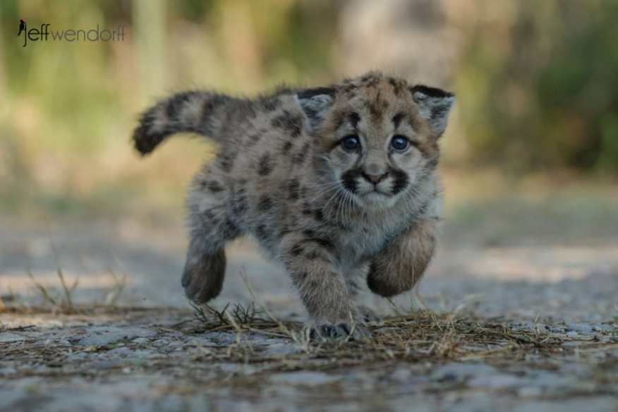 Baby Cougar at a trot photographed by Jeff Wendorff