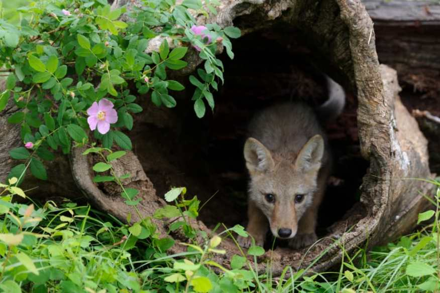 Coyote pup in a hollow log in spring photographed by Jeff Wendorff