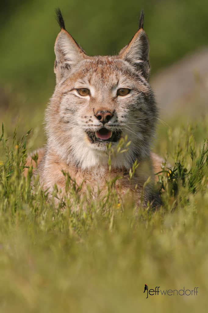 Comparing Canada and Eurasian Lynx
